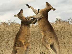 Two Kangaroos Fighting as representation of Two Competitors in the Search Engine