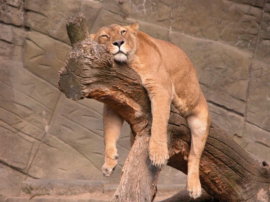 A Lazy Tiger